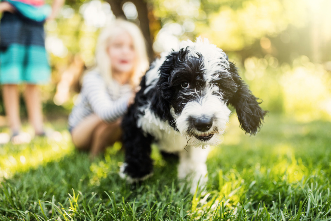 Pros and Cons of Sheepadoodle - SHEEPADOODLES ORG